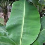 daun pisang abu