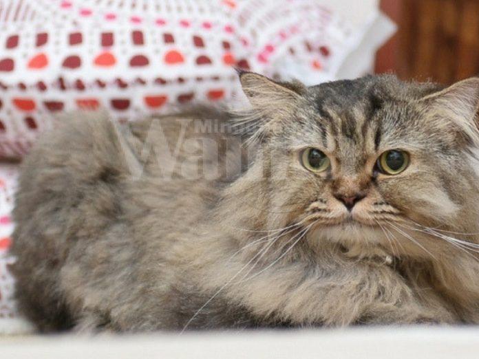 petua kucing